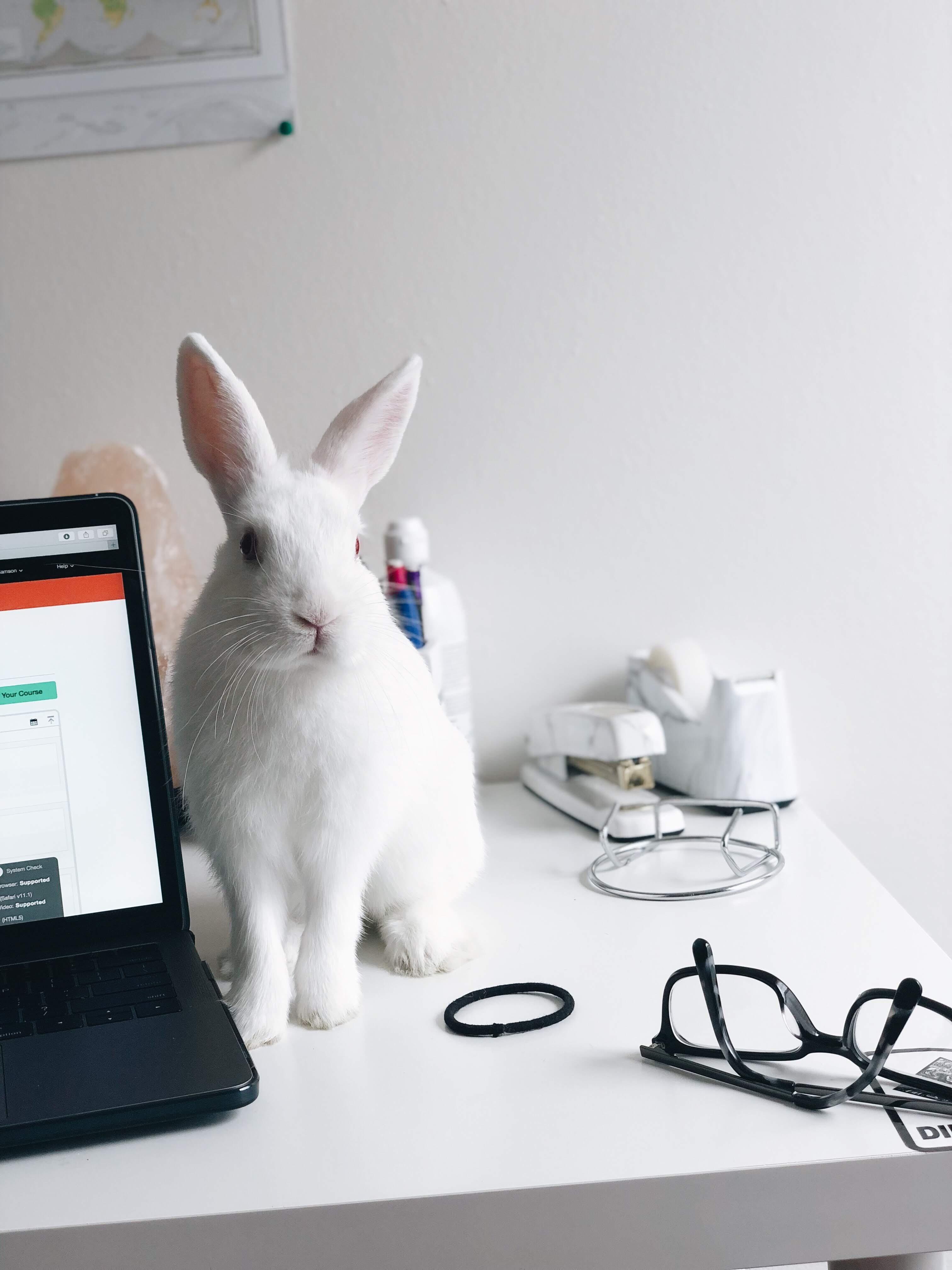 immagine coniglio bianco: i test su ingredienti comedogeni venivano fatti sulle orecchie dei conigli